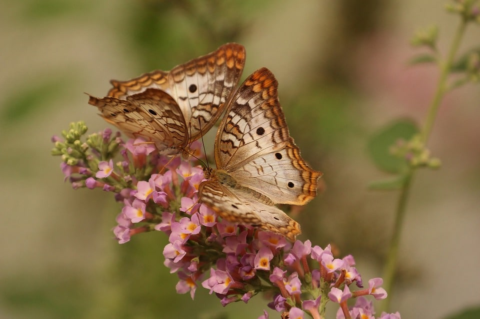 two brown butterfly on a flower
